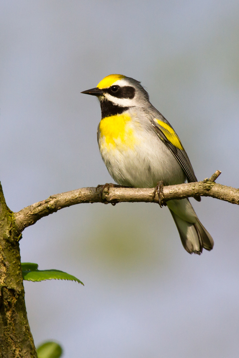 Golden-winged WarblerMc052013_72ppi