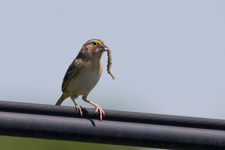 Grasshopper Sparrowb061012_72ppi