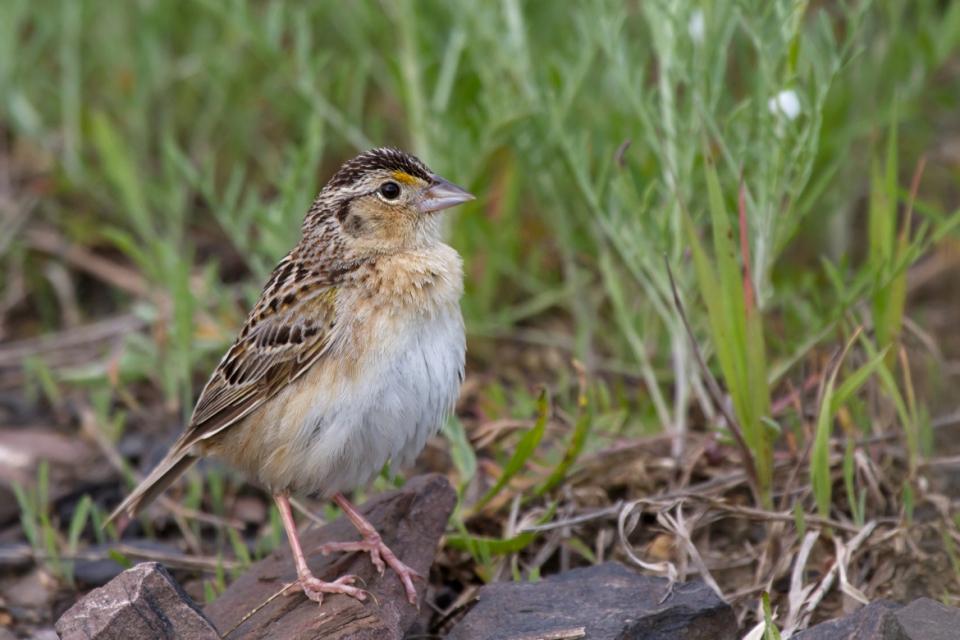 Grasshopper SparrowMa060113_72ppi