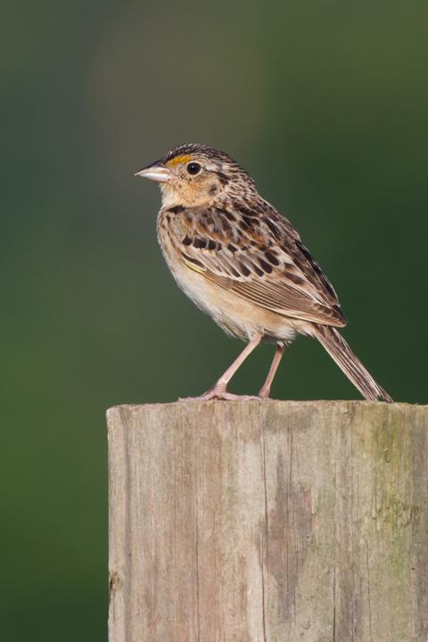 Grasshopper SparrowMa062312_72ppi