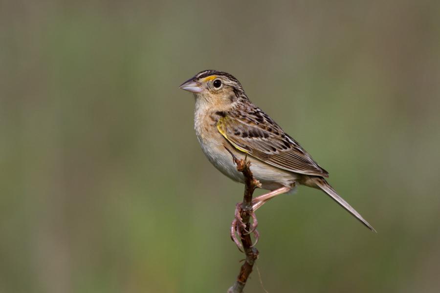 Grasshopper SparrowMc060113_72ppi