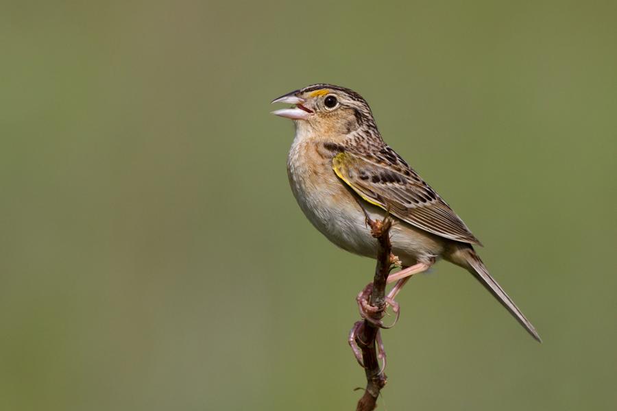 Grasshopper SparrowMd060113_72ppi