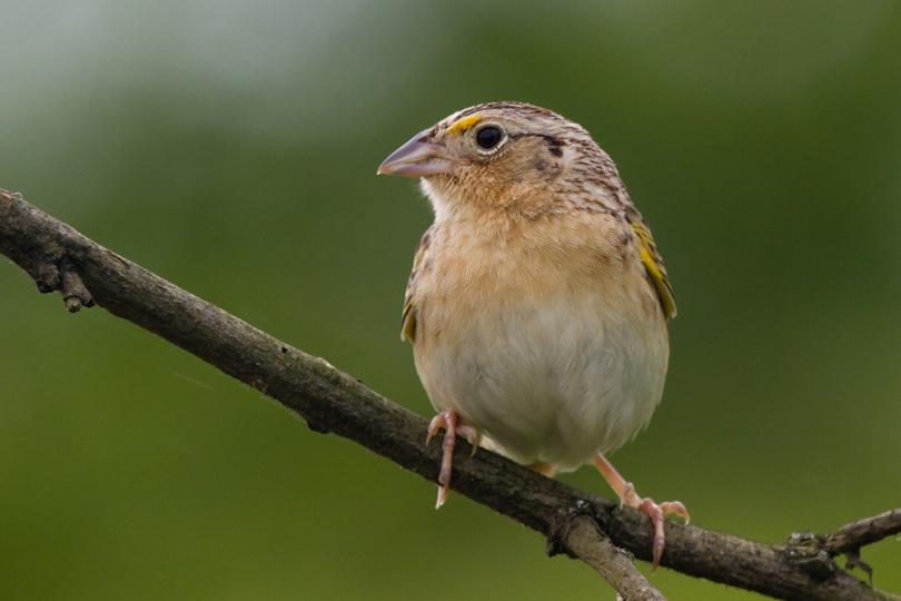 Grasshopper SparrowMf060512_72ppi