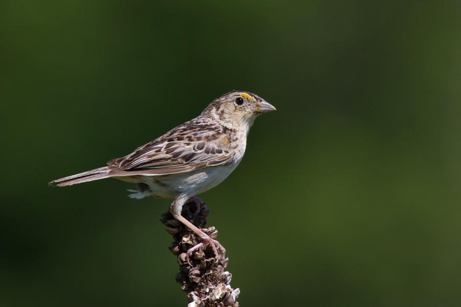 Grasshopper SparrowMf061012_72ppi