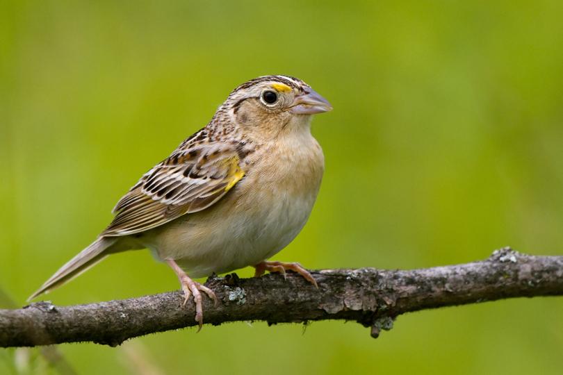 Grasshopper SparrowMi060512_72ppi