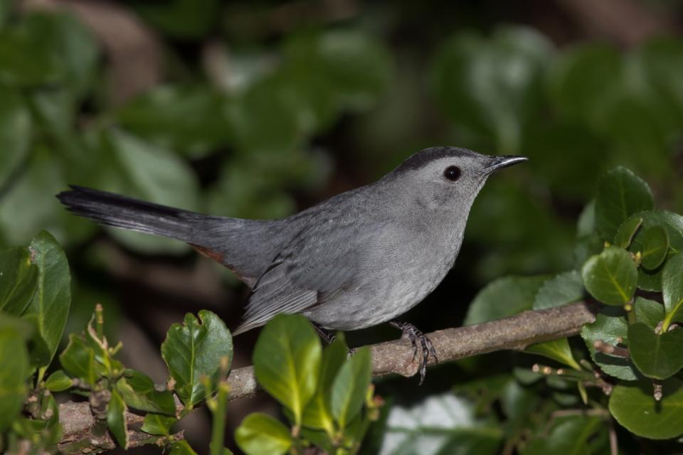 Gray Catbird1_72ppi