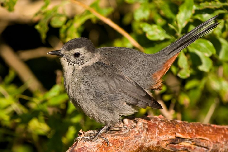 Gray Catbirda09.12