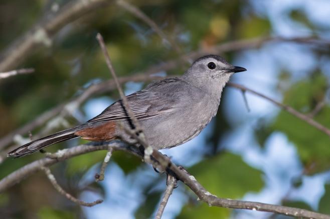 gray-catbirda091916_72ppi
