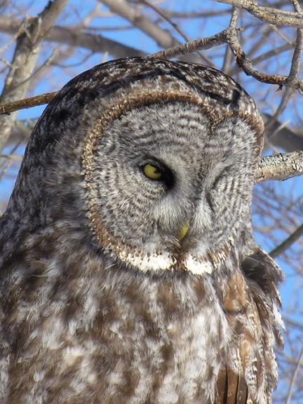 Great Gray Owla012805_72ppi