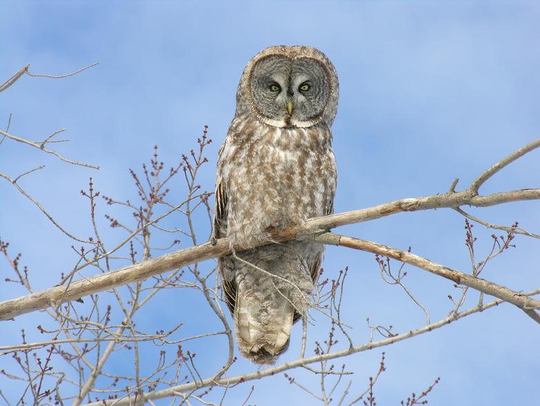 Great gray owld29.01.05_72ppi