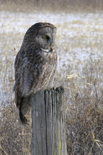 Great Gray Owle012805_72ppi
