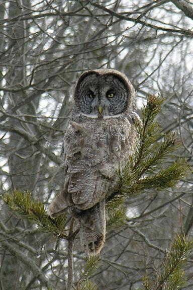 Great Gray Owlf011605_72ppi