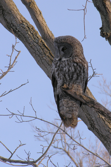 Great Gray Owlg012905_72ppi