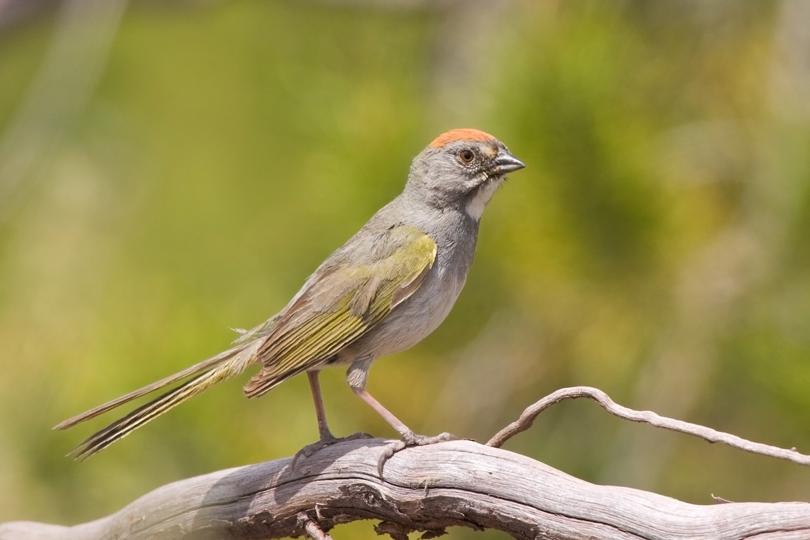 Green-tailed TowheeMa062310_72ppi