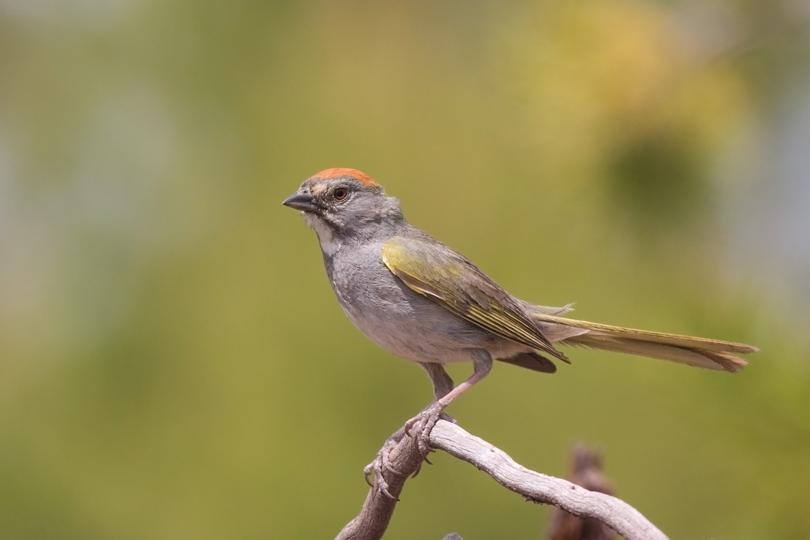 Green-tailed TowheeMb062310_72ppi