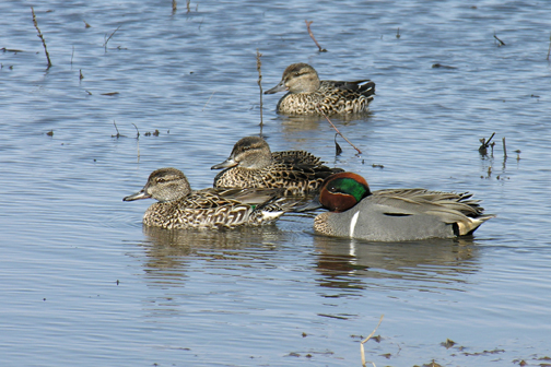 green-winged-tealsa040505_72ppi