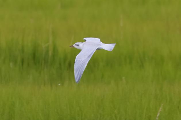 Gull-billed TernHYa080815_72ppi