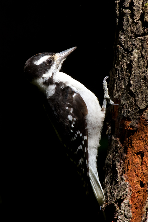 Hairy WoodpeckerHYa082912_72ppi