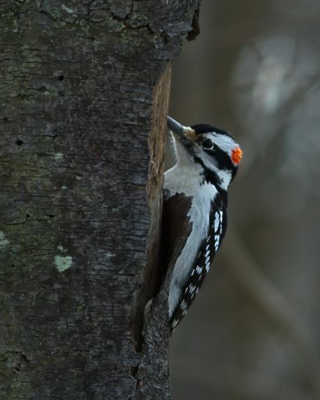 Hairy WoodpeckerMa012814_72ppi