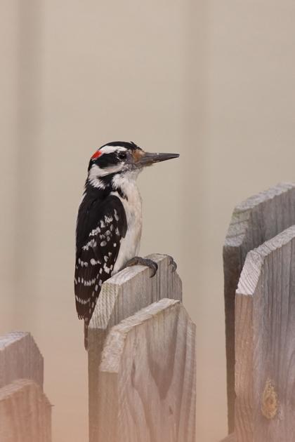 Hairy WoodpeckerMa051911_72ppi