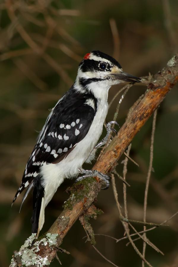 Hairy WoodpeckerMa082512_72ppi