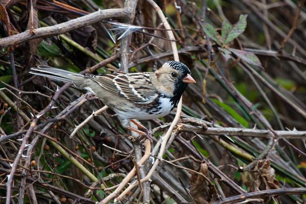 Harris's SparrowMa101608_72ppi