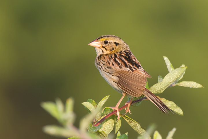 Henslow's SparrowMe062112_72ppi