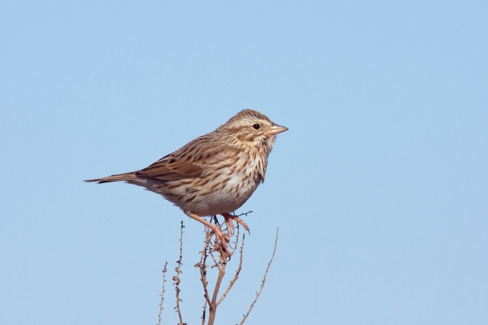 Ipswich Sparrowa112909