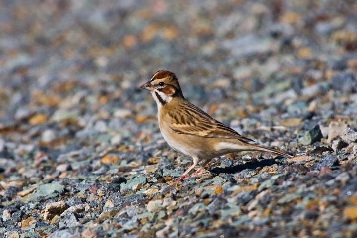 Lark Sparrowa021110_72ppi