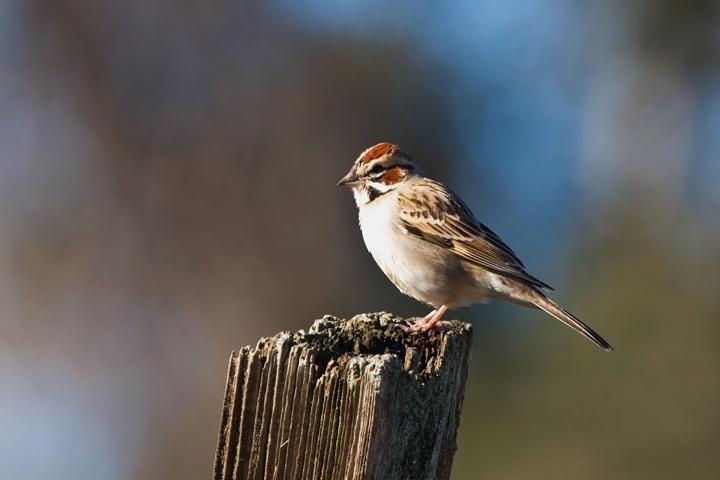 Lark Sparrowb021110_72ppi