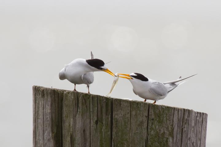 Least Tern paira042313_72ppi