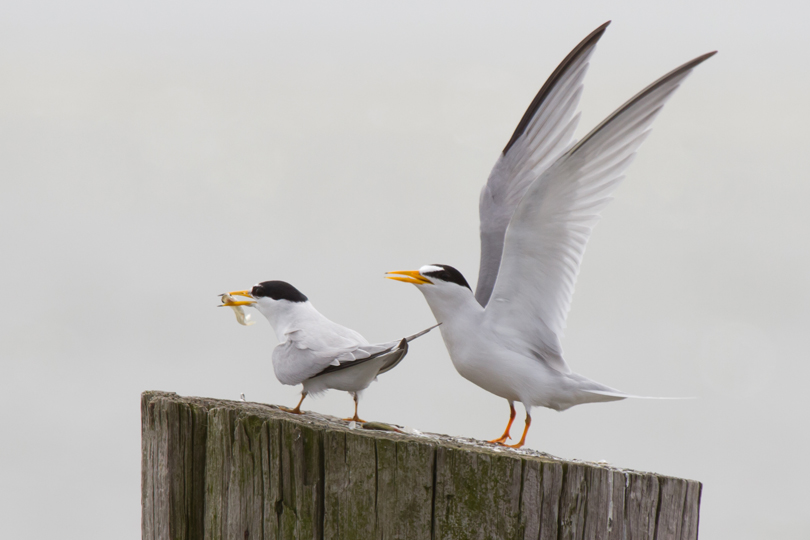 Least Tern pairb042313_72ppi