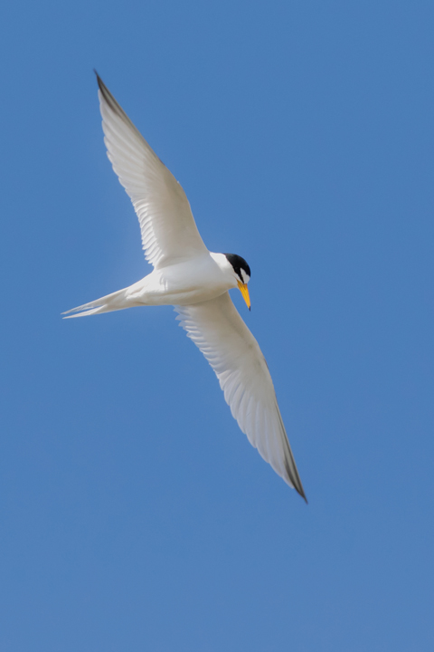 Least Tern1_72ppi