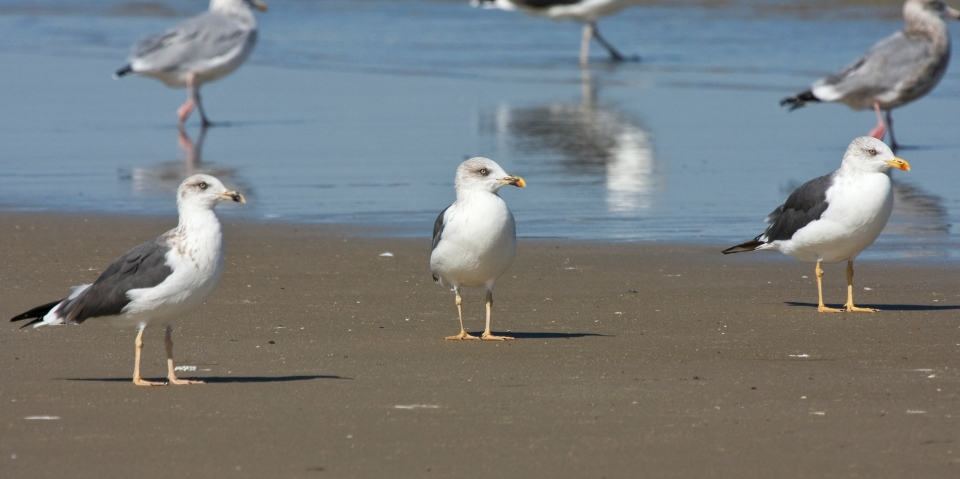 Lesser Black-backed GullsAda102309