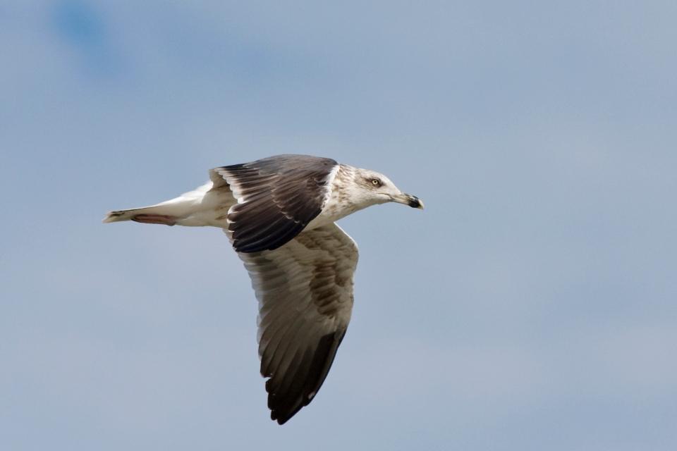 Lesser Black-backed GullSubadc102309