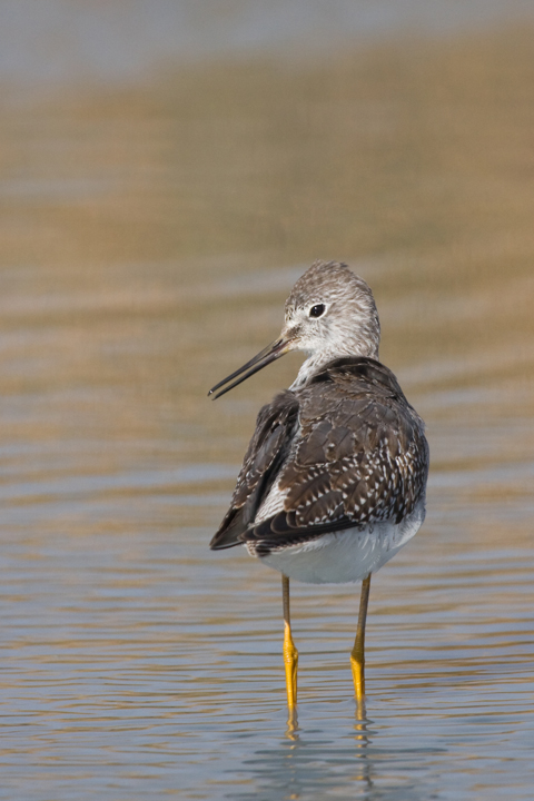 Lesser Yellowlegsg102910_72ppi
