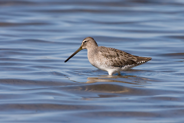 Long-billed Dowitcheraa102109_72ppi