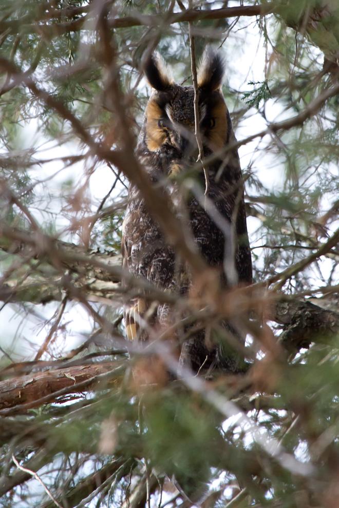 Long-eared Owla010413_72ppi