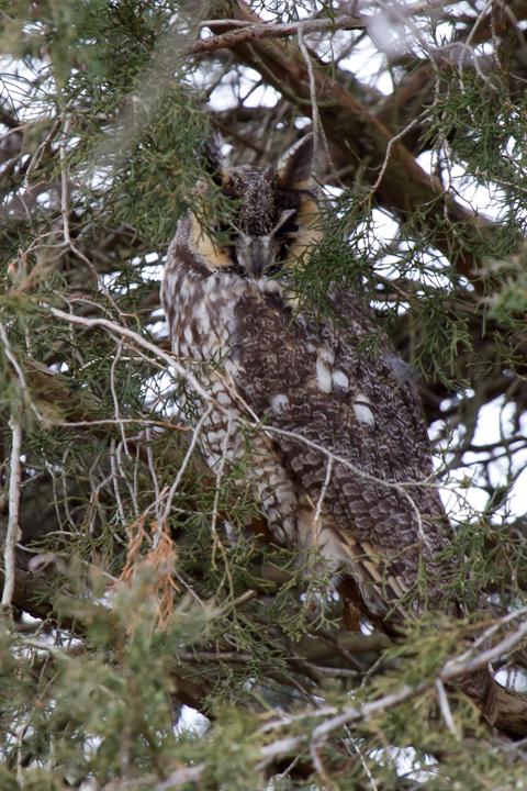 Long-eared Owla021813_72ppi