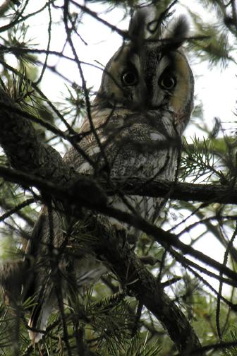 Long-eared owla05.04.05_72ppi