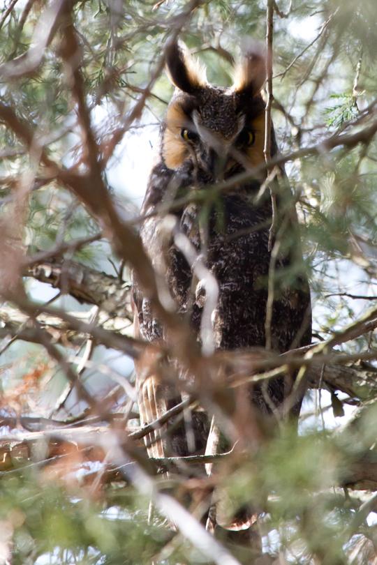 Long-eared Owlb010413_72ppi