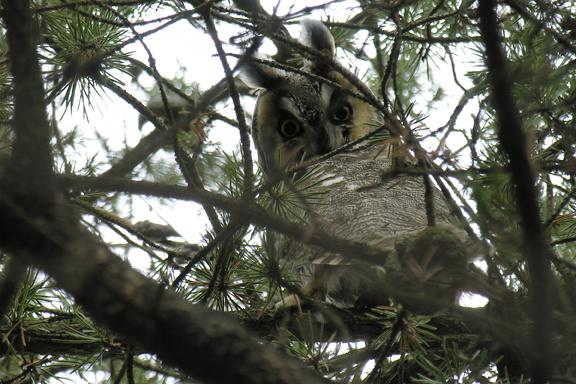 Long-eared owlb05.04.05_72ppi