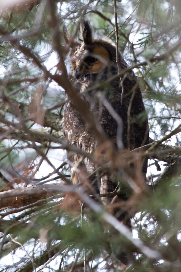 Long-eared Owlc010413_72ppi