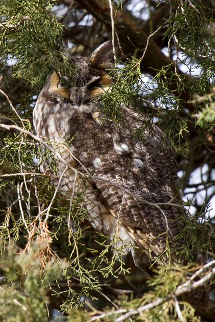 Long-eared Owlc021813_72ppi