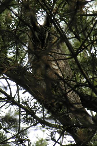 Long-eared owld05.04.05_72ppi