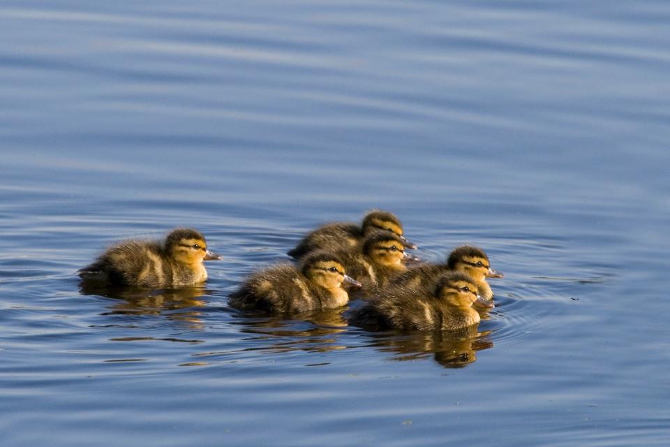 Mallard_ducklings05.11.09