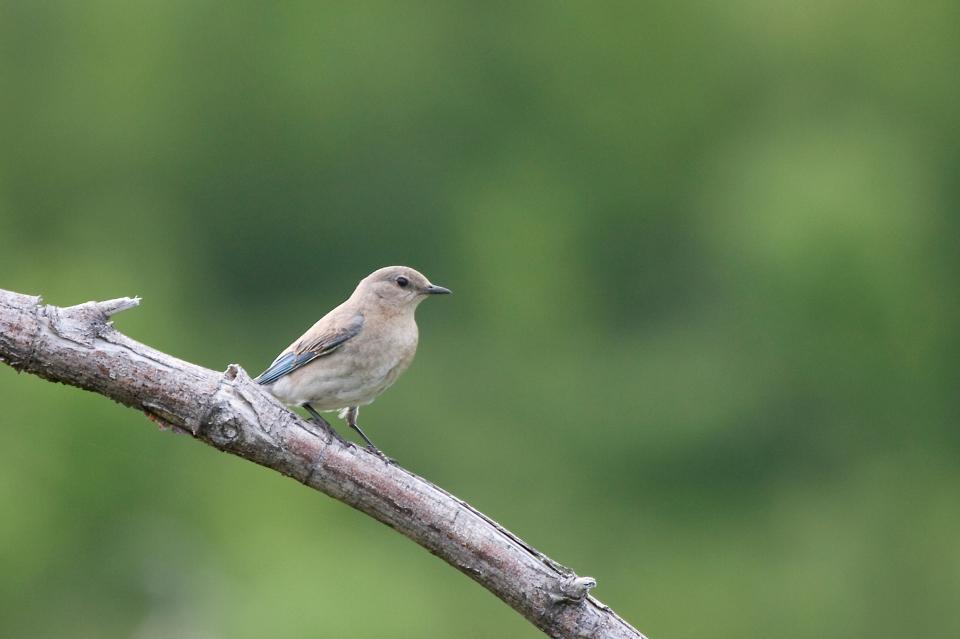 Mountain BluebirdFa06.17.09