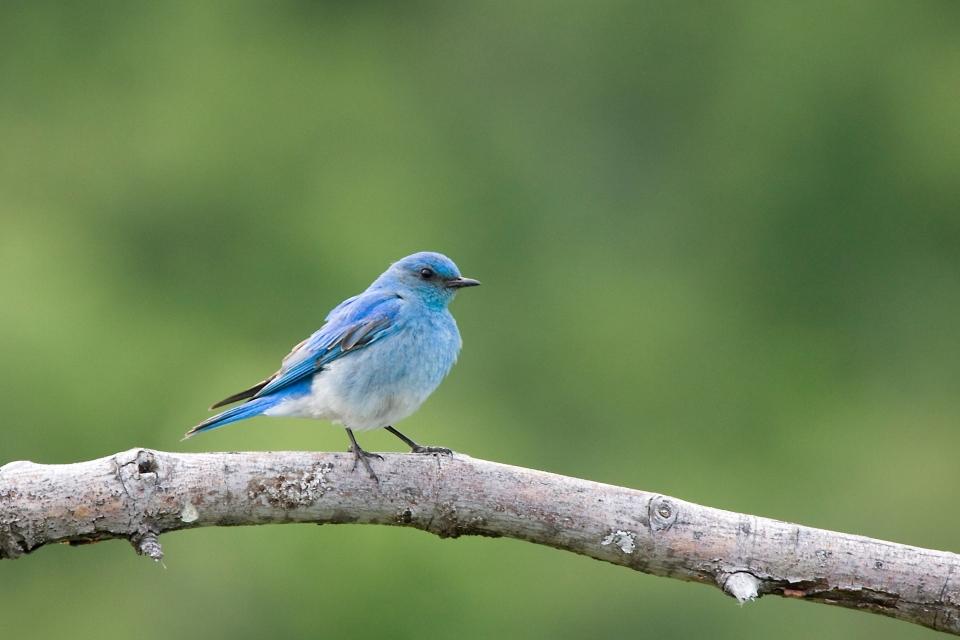 Mountain BluebirdMa06.17.09