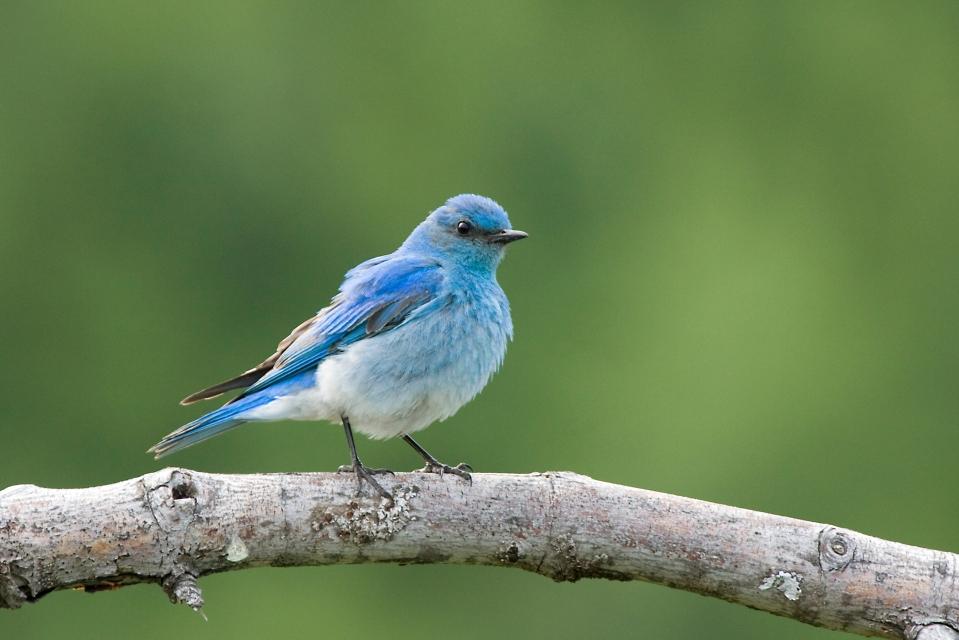 Mountain BluebirdMb06.17.09