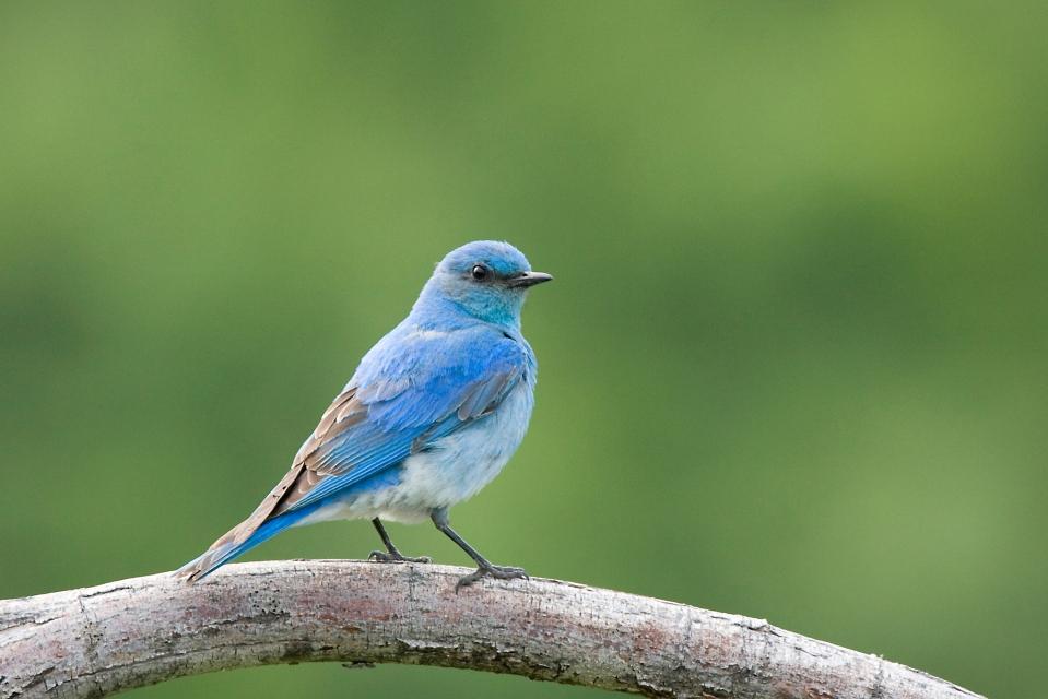Mountain BluebirdMd06.17.09